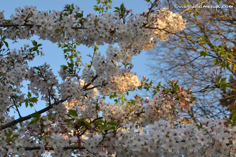 Hanami in Italia, fioritura