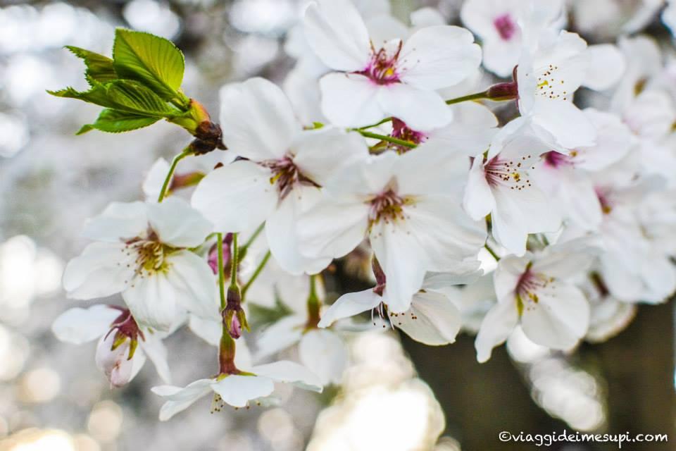 Hanami in Italia, fiori di ciliegio